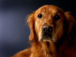 Koiran hyvinvointi eläinavusteisessa työssä